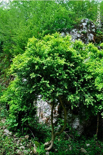 заросли самщита в крепости Абахуаца