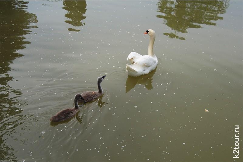 лебеди с детенышами в парке